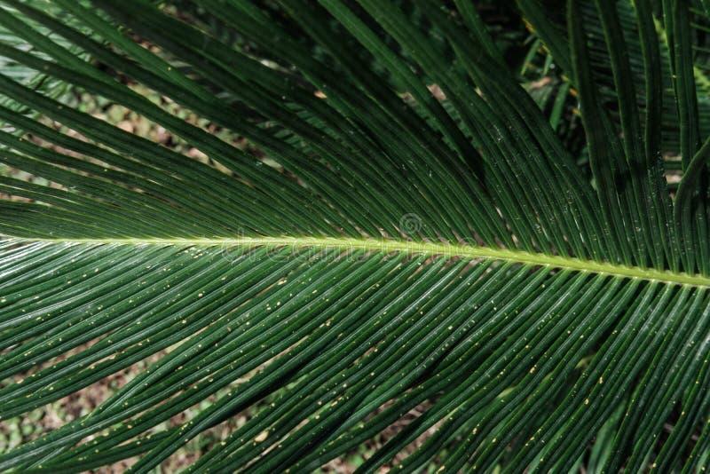 Textura o fondo natural de las hojas de la palma imagen de archivo libre de regalías