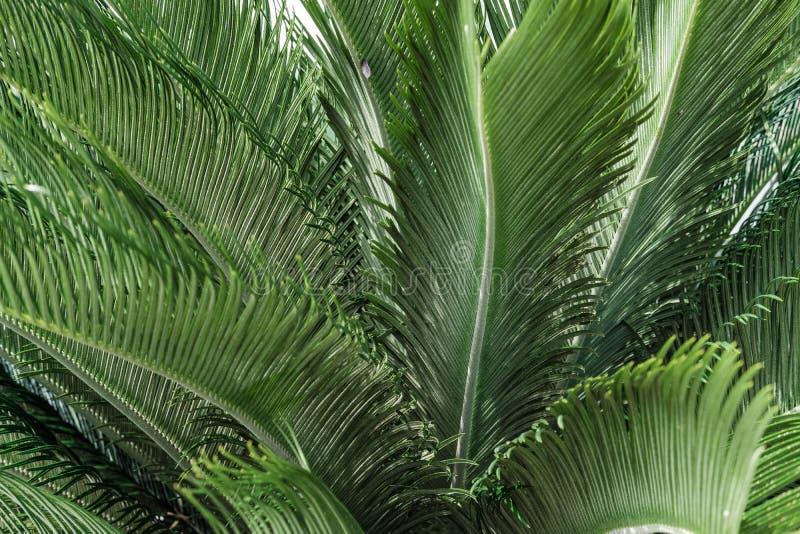 Textura o fondo natural de las hojas de la palma fotos de archivo libres de regalías