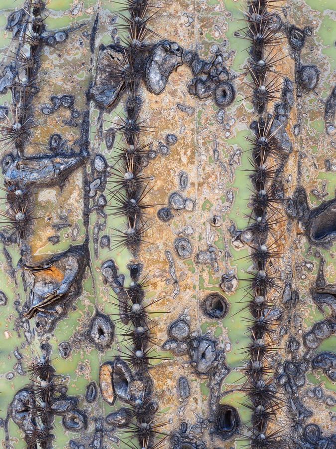 Textura original em um cacto velho do Saguaro foto de stock