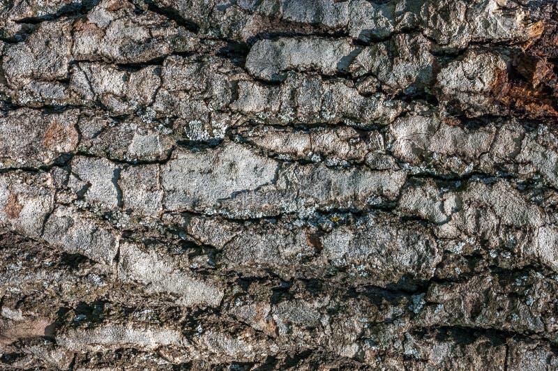 Textura oscura de la corteza de árbol con las venas fuertes fotografía de archivo