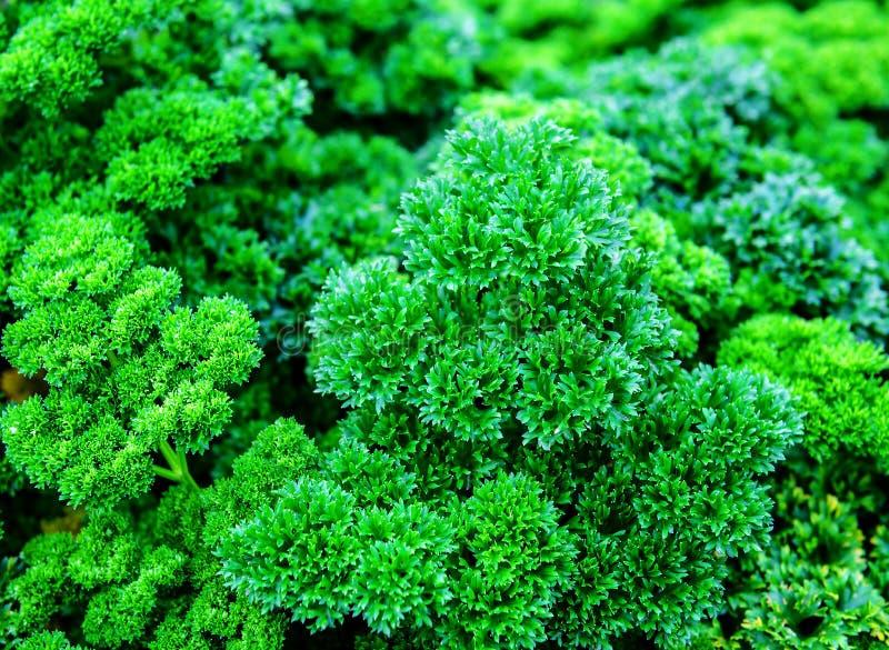 Textura parslay luxúria das folhas imagem de stock