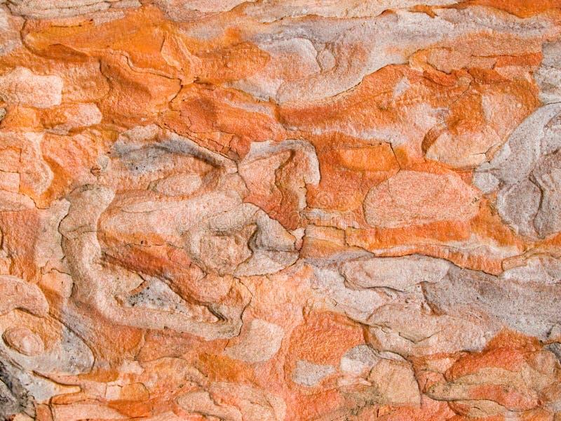 Textura roja de la corteza del pino de Japón foto de archivo