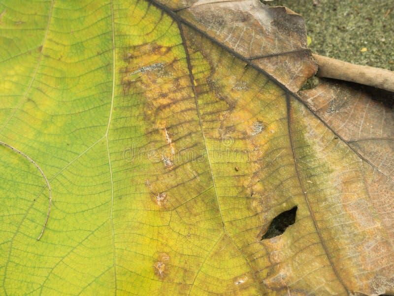 Textura seca da folha para o teste padrão Papel do fundo ou de parede imagem de stock