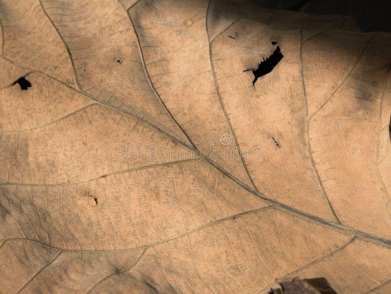 Textura seca da folha para o teste padrão Papel do fundo ou de parede fotos de stock