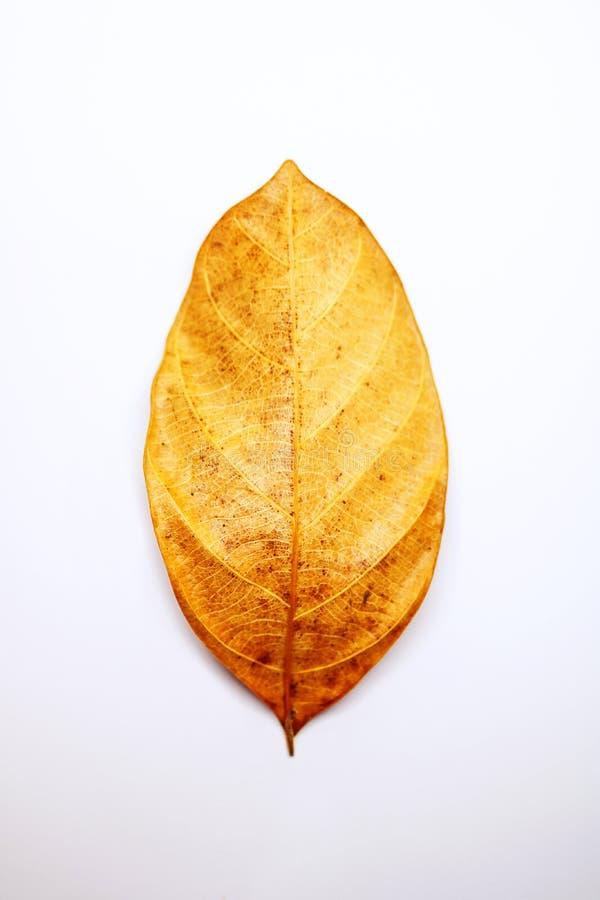 Textura seca de las venas de las hojas aislada en el fondo blanco vena de la hoja fotografía de archivo
