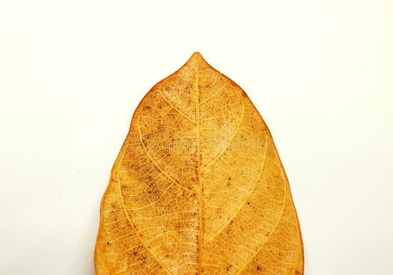 Textura seca de las venas de las hojas Ciérrese encima de la textura de la hoja aislada en pizca fotos de archivo