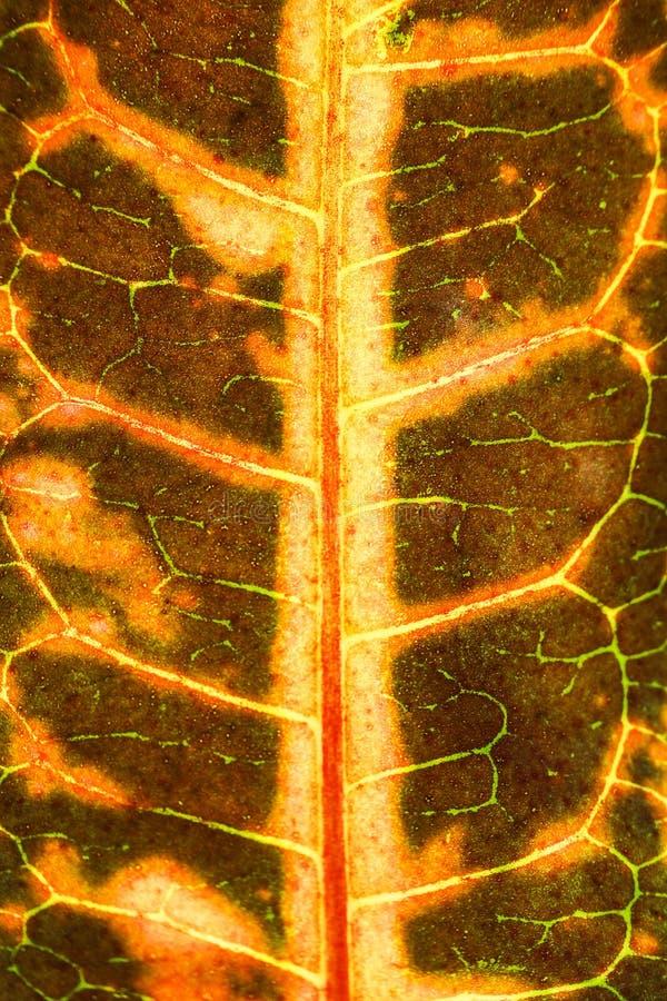 Textura seca de las venas de las hojas Ciérrese para arriba en textura de la hoja La hoja vetea m imágenes de archivo libres de regalías