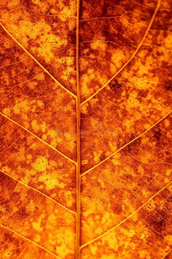 Textura seca de las venas de las hojas Ciérrese para arriba en textura de la hoja La hoja vetea m imagen de archivo libre de regalías