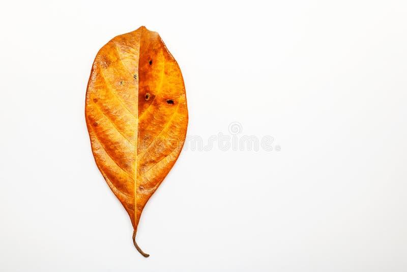 Textura seca de las venas de las hojas en el fondo blanco El top de las venas de la hoja compite fotos de archivo