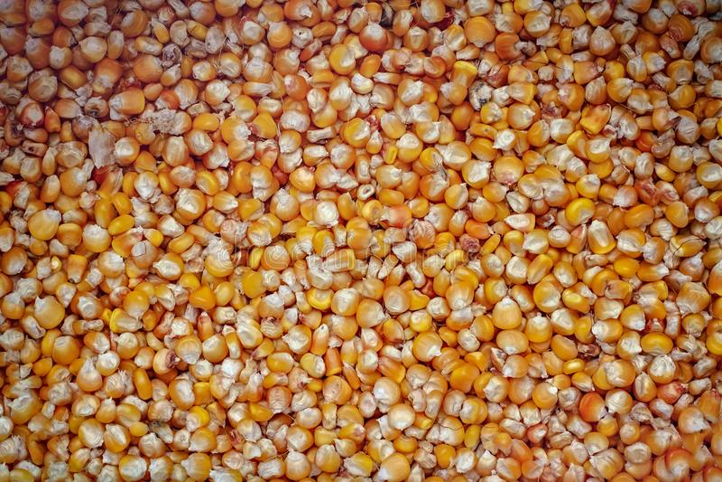 Textura secada del fondo de las habas del maíz foto de archivo