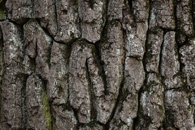 Textura velha da casca do carvalho imagem de stock