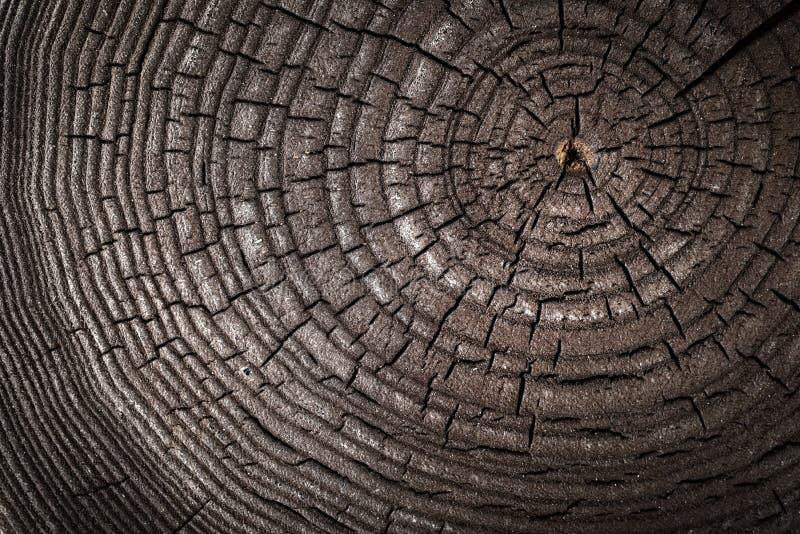 Textura velha de madeira do tronco de árvore cortado, close-up da cinza Tiro macro Como foto de stock royalty free