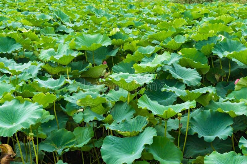 Textura verde bonita da folha das folhas dos lótus imagens de stock