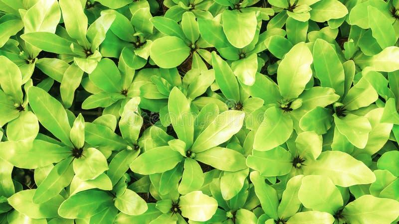 Textura verde bonita do teste padrão da natureza da planta tropical parte superior vi imagem de stock