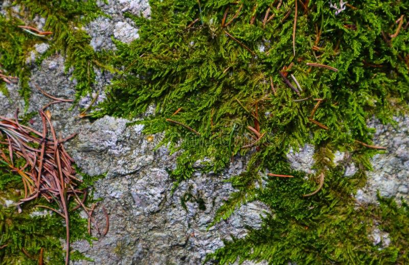 Textura verde colorida del musgo Foto que representa un lich espeso brillante imagen de archivo