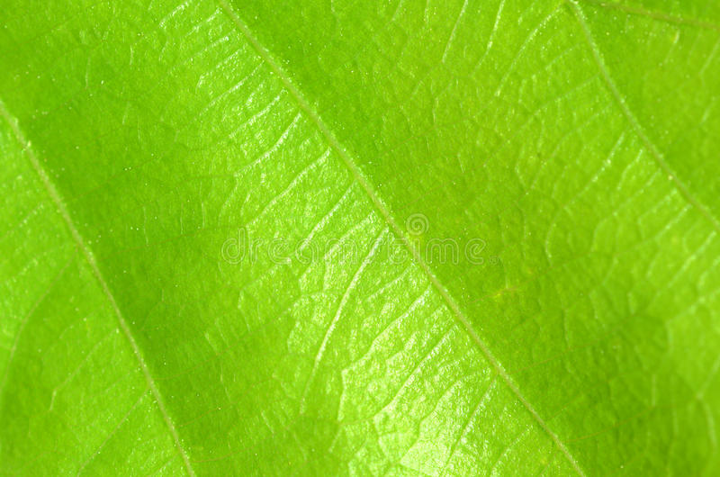 Textura verde da folha fotografia de stock