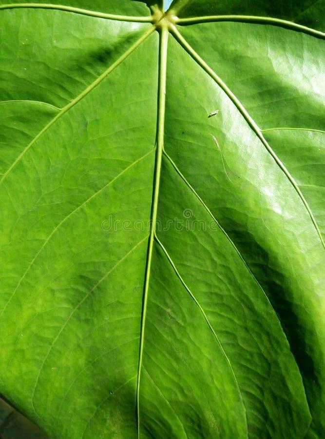 Textura verde da folha foto de stock