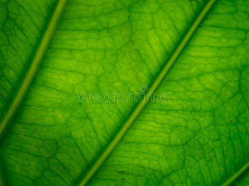 Textura verde da folha imagens de stock royalty free