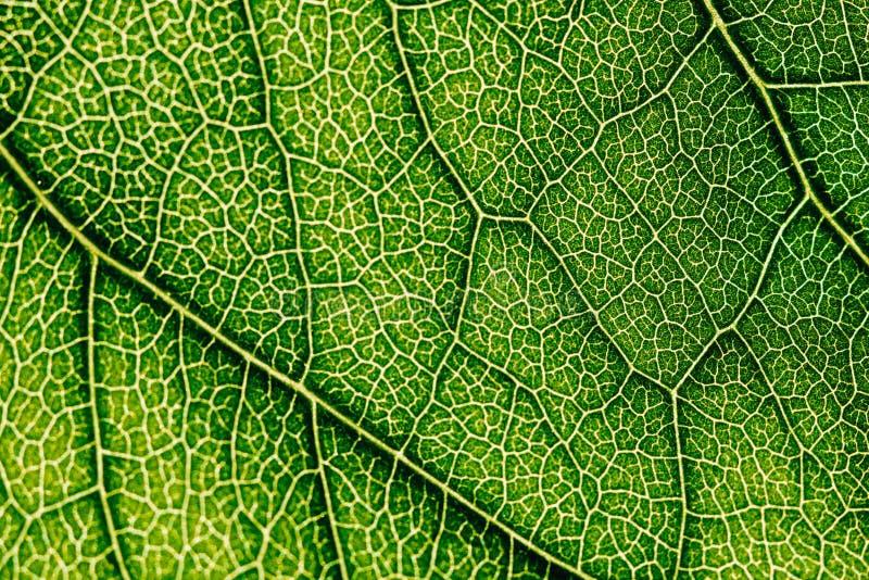 Textura verde da folha com os estomas visíveis que cobrem a camada da epiderme fotografia de stock royalty free