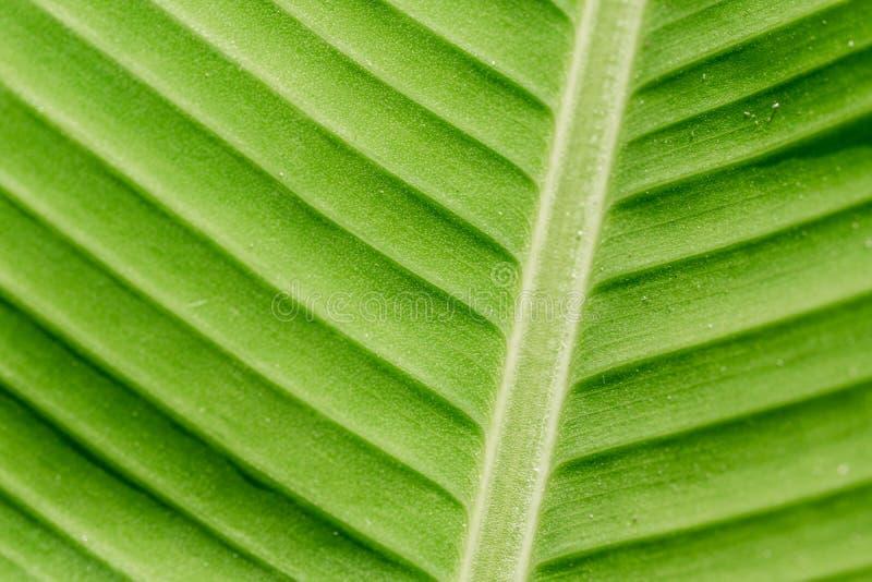 Textura verde da folha da natureza nos detalhes como o fundo natural ou o wa foto de stock