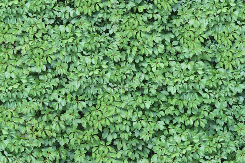 Textura verde da parede da hera ilustração royalty free