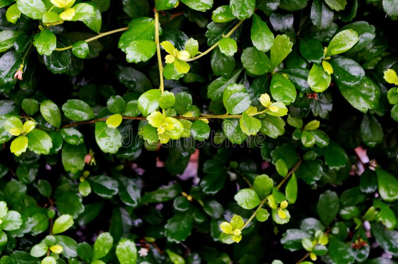 Textura verde das folhas de chá de Eukien imagem de stock