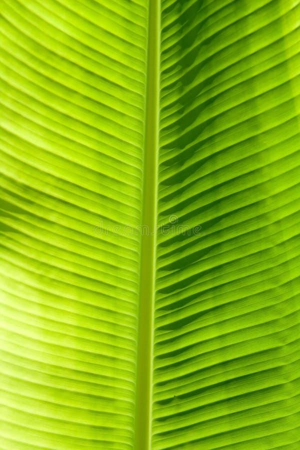 Textura verde de la hoja fotos de archivo libres de regalías