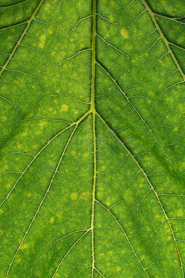 Textura verde de la hoja con la fibra de las hojas foto de archivo libre de regalías
