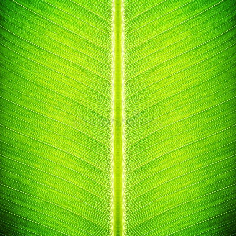 Textura verde de la hoja del plátano foto de archivo
