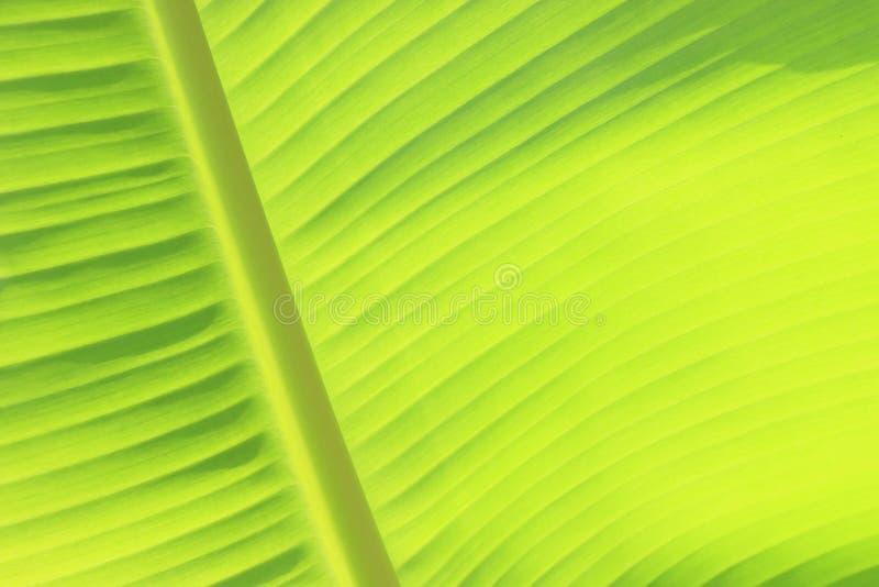 Textura verde de la hoja del plátano fotografía de archivo libre de regalías