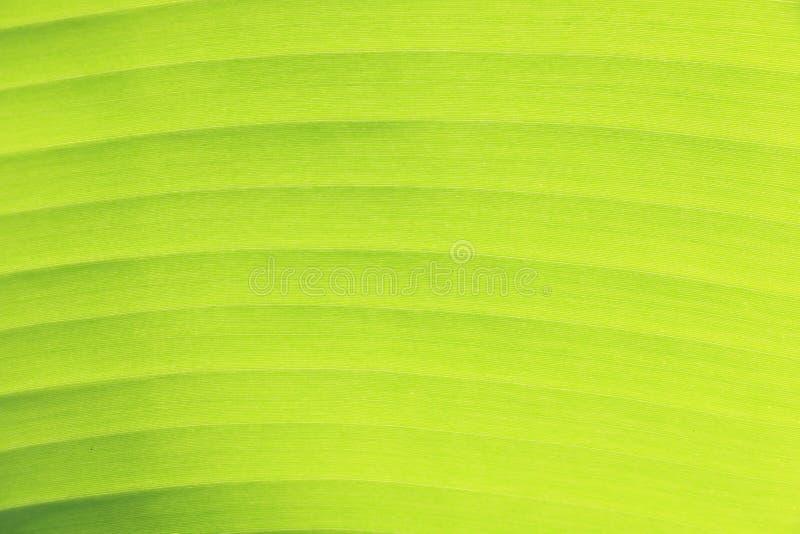 Textura verde de la hoja del plátano imagen de archivo libre de regalías