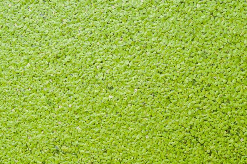 Textura verde de la lenteja de agua fotos de archivo