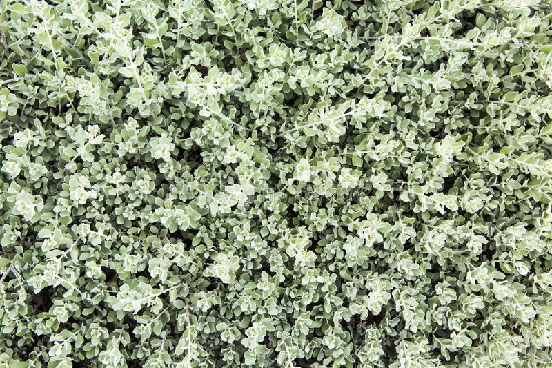Textura verde de la pared de la hoja foto de archivo libre de regalías