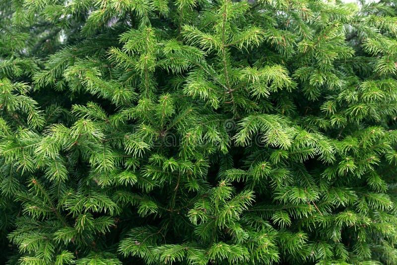 Textura verde de las ramas de árbol de abeto fotografía de archivo libre de regalías
