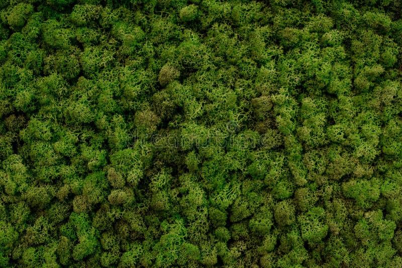 Textura verde del fondo del musgo hermosa en naturaleza foto de archivo