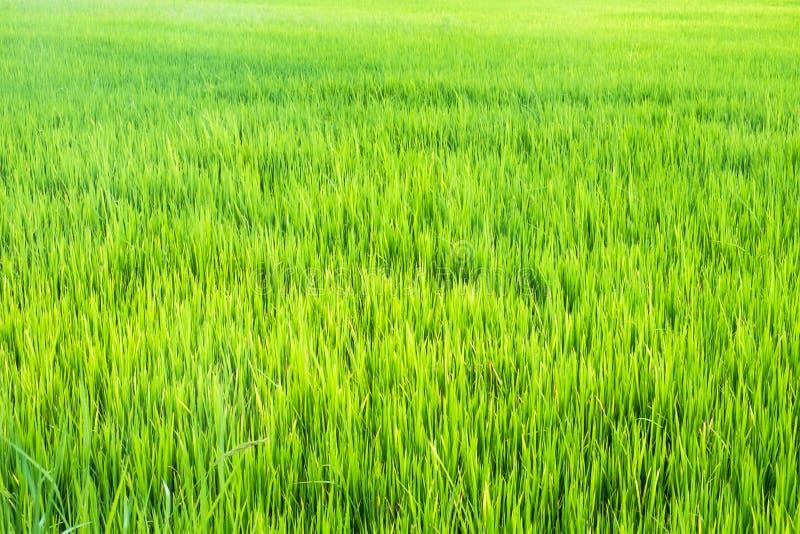 Textura verde do fundo das plântulas do arroz imagem de stock
