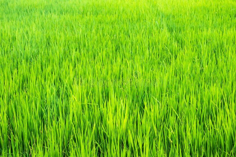 Textura verde do fundo das plântulas do arroz fotografia de stock royalty free
