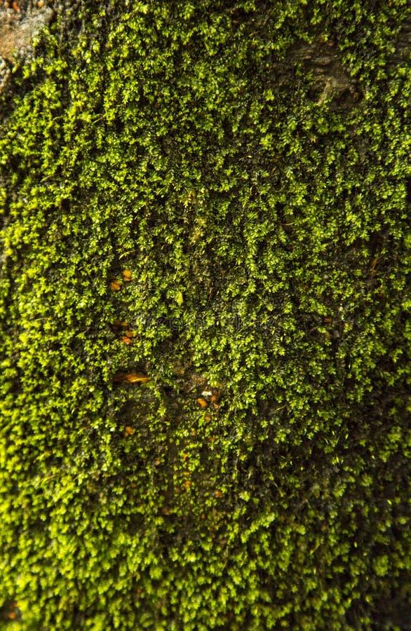 Textura verde do fungo em árvores fotos de stock