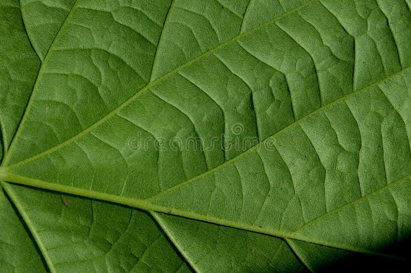Textura verde frondosa das folhas verdes imagens de stock