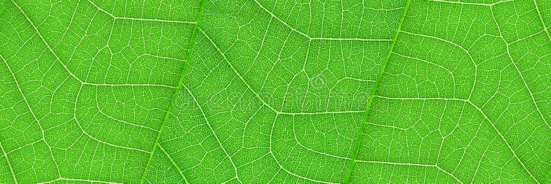 textura verde horizontal da folha para o teste padrão e o fundo foto de stock
