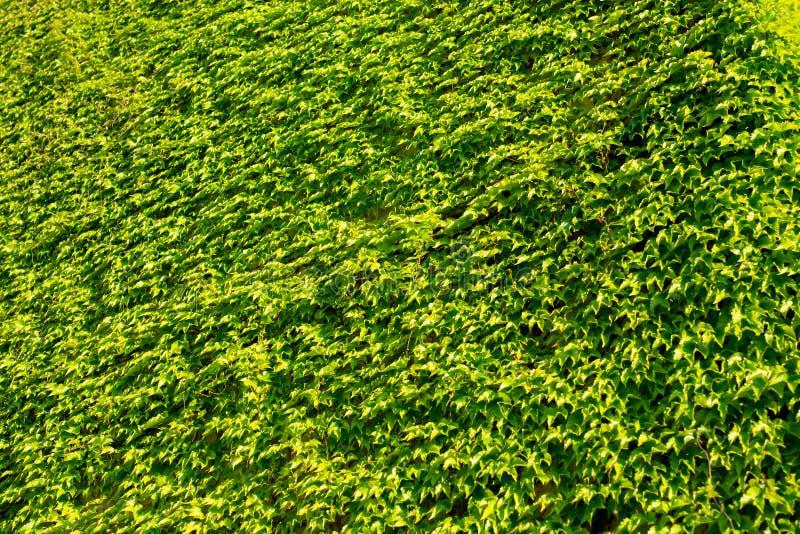 Textura verde natural da folha imagens de stock royalty free