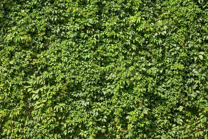 Textura verde natural del follaje enorme brillante de la hiedra fotografía de archivo