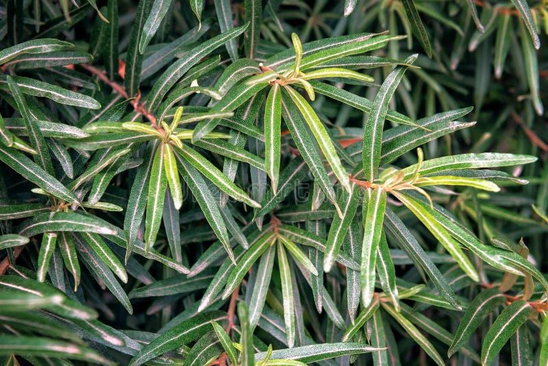 Textura verde-oliva luxúria das folhas imagens de stock royalty free