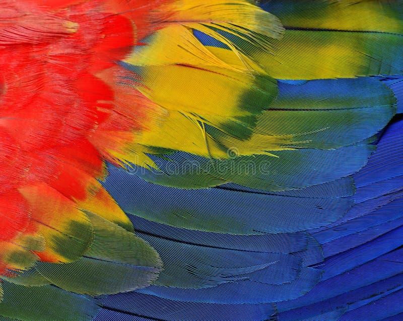 Textura vermelha, amarela e azul de Bautiful da arara do escarlate do bi do papagaio foto de stock
