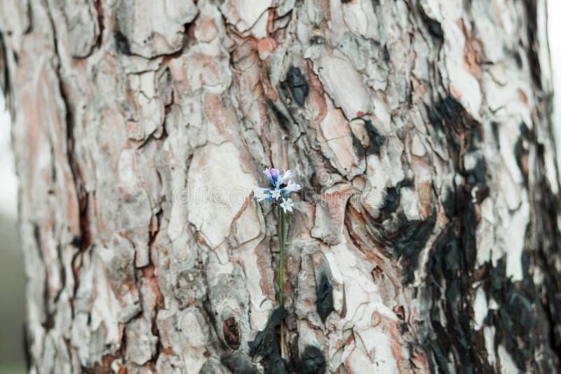 Textura y fondo, cierre de la corteza de árbol de pino encima de la vista de natural fotos de archivo
