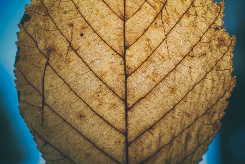 Textura y fondo de la hoja de Brown Vista macra de la textura seca de la hoja Modelo orgánico y natural textura y fondo abstracto imagen de archivo libre de regalías