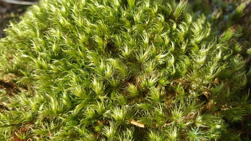 Textura y fondo verdes del musgo imagenes de archivo