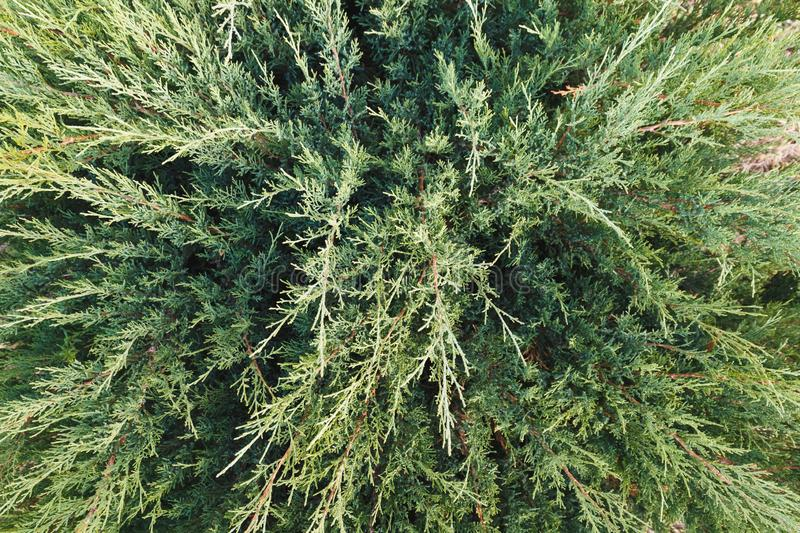 Textural background of cypress. Nature concept. Textural background of cypress greenery, top view with close-up. Ornamental trees and bushes royalty free stock photos