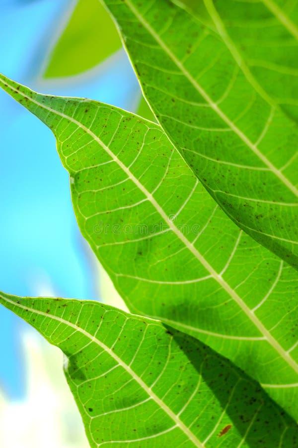 Texturas de una hoja verde de los árboles del pan imagen de archivo