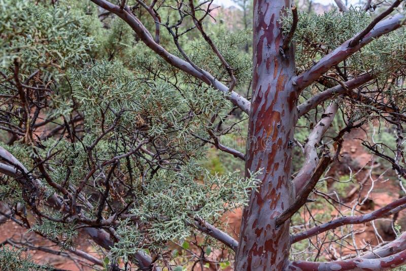 Texturas del árbol del enebro imagen de archivo libre de regalías